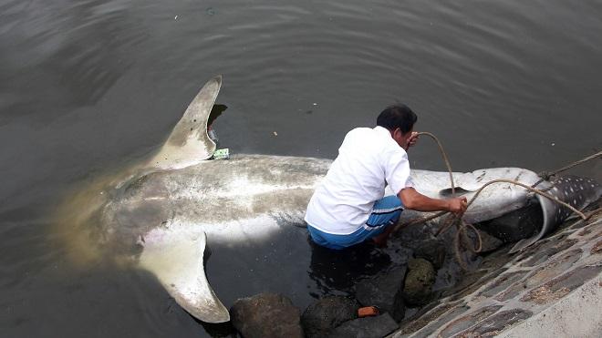 Cá mập voi 450kg dạt bờ, được xe cẩu đưa về bảo tàng TQ - 4