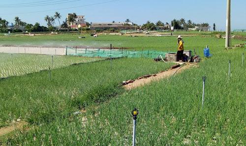 Trồng tỏi nơi đảo xa, nhà nông thu 1-1,3 tỷ đồng/ha - 1