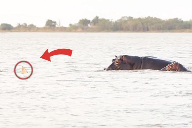 Cá mập ê chề sau khi hung hăng tấn công đàn hà mã - 1