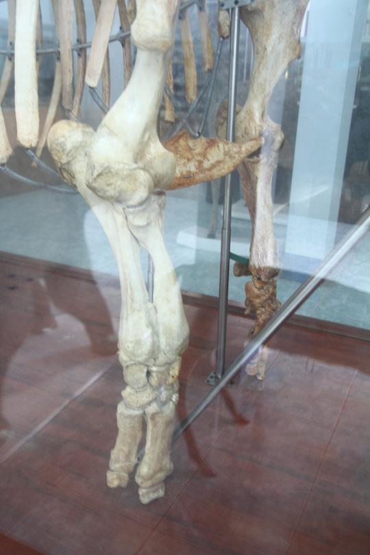 Chiêm ngưỡng bộ xương tê giác Java cuối cùng của Việt Nam - 3