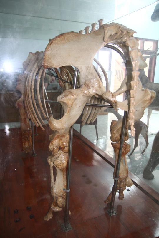 Chiêm ngưỡng bộ xương tê giác Java cuối cùng của Việt Nam - 2