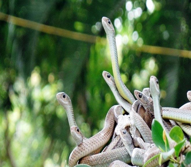 Rùng mình hàng trăm con rắn lúc nhúc trên cây ở trại mãng xà lớn nhất VN - 1