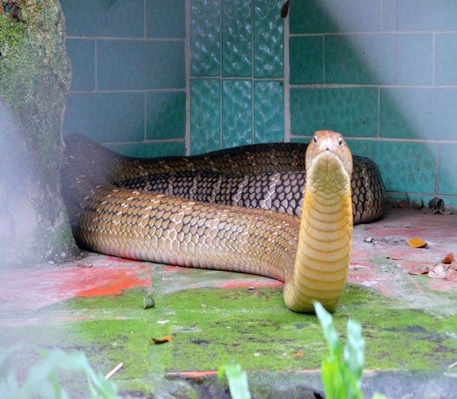 Rùng mình hàng trăm con rắn lúc nhúc trên cây ở trại mãng xà lớn nhất VN - 2