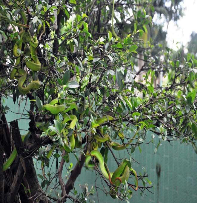 Rùng mình hàng trăm con rắn lúc nhúc trên cây ở trại mãng xà lớn nhất VN - 7