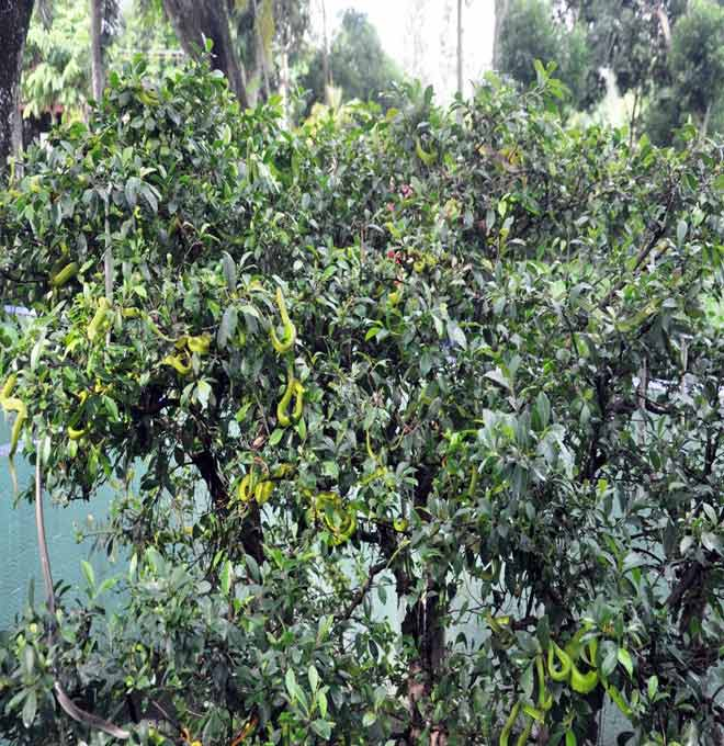 Rùng mình hàng trăm con rắn lúc nhúc trên cây ở trại mãng xà lớn nhất VN - 5