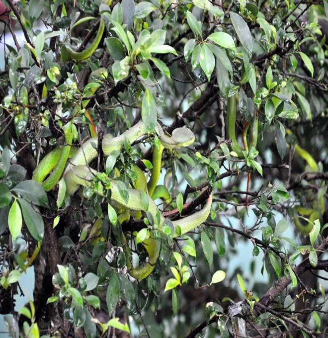Rùng mình hàng trăm con rắn lúc nhúc trên cây ở trại mãng xà lớn nhất VN - 8