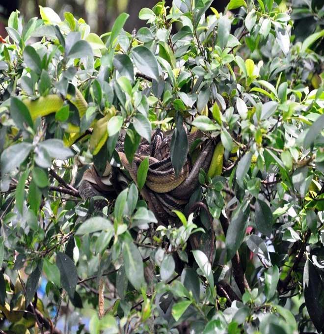 Rùng mình hàng trăm con rắn lúc nhúc trên cây ở trại mãng xà lớn nhất VN - 14