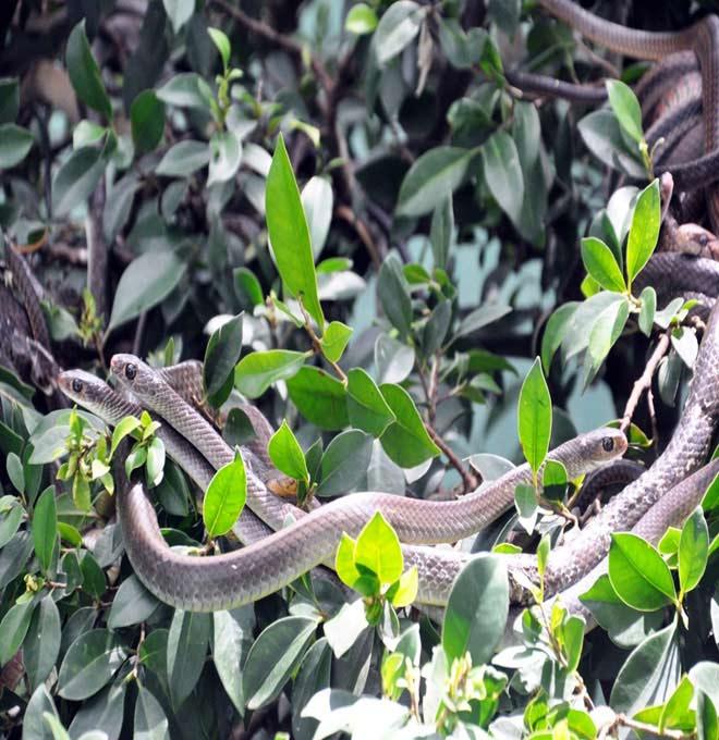 Rùng mình hàng trăm con rắn lúc nhúc trên cây ở trại mãng xà lớn nhất VN - 15