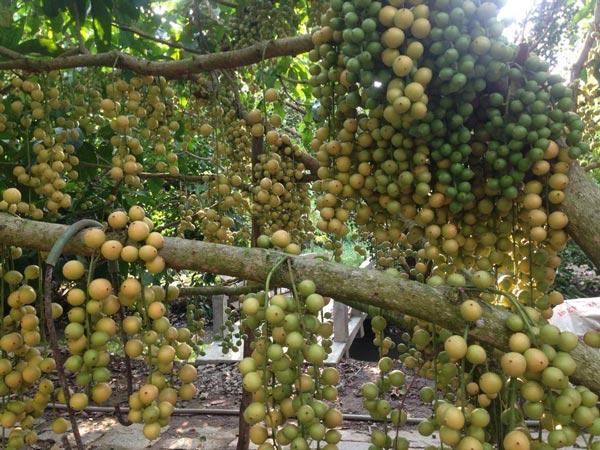 Thu tiền tỷ nhờ trồng cây trái kết hợp du lịch sinh thái - 2
