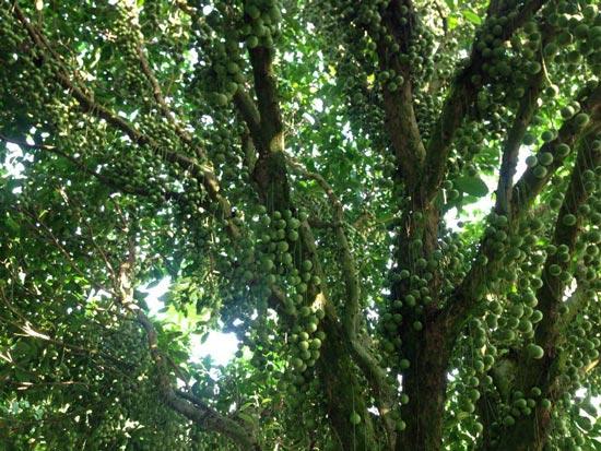 Thu tiền tỷ nhờ trồng cây trái kết hợp du lịch sinh thái - 3