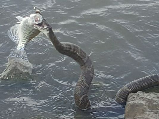 Rắn khổng lồ nhảy lên cướp cá của ngư dân Mỹ - 1