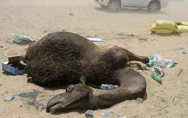 Ả Rập Saudi trừng phạt, ngàn lạc đà Qatar chết đói, khát - 1