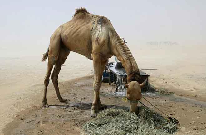 Ả Rập Saudi trừng phạt, ngàn lạc đà Qatar chết đói, khát - 2
