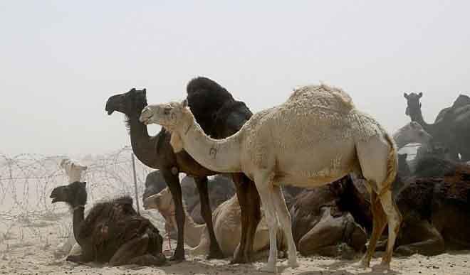 Ả Rập Saudi trừng phạt, ngàn lạc đà Qatar chết đói, khát - 3