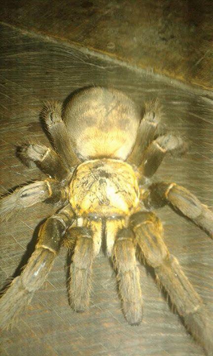 """Bắt được nhện """"quái vật"""" dài 20cm ở Hòa Bình - 1"""