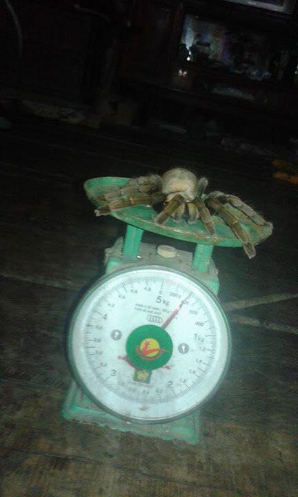 """Bắt được nhện """"quái vật"""" dài 20cm ở Hòa Bình - 2"""