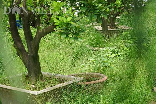 Vườn bưởi di động sai chi chít ở cửa ngõ Thủ đô, thu 300 triệu/năm - 6