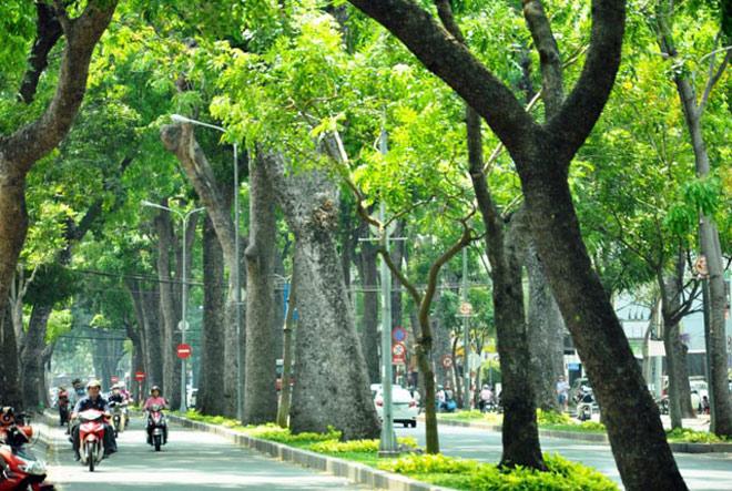 """Ngắm hàng cây trăm tuổi đẹp nhất SG trước giờ """"khai tử"""" - 1"""