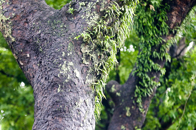 """Ngắm hàng cây trăm tuổi đẹp nhất SG trước giờ """"khai tử"""" - 5"""