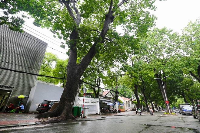 """Ngắm hàng cây trăm tuổi đẹp nhất SG trước giờ """"khai tử"""" - 8"""