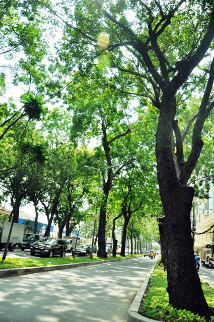 """Ngắm hàng cây trăm tuổi đẹp nhất SG trước giờ """"khai tử"""" - 11"""