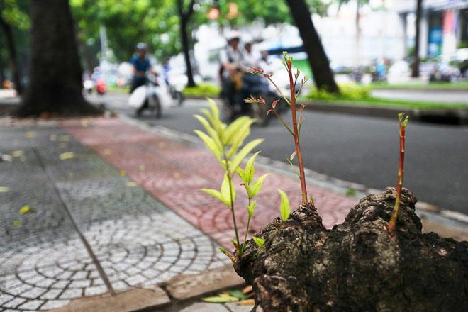 """Ngắm hàng cây trăm tuổi đẹp nhất SG trước giờ """"khai tử"""" - 14"""