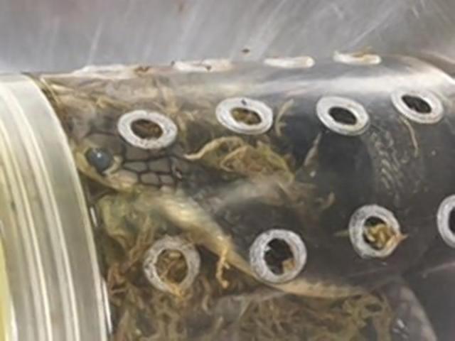 5 hổ mang chúa trốn trong kiện hàng ở sân bay Mỹ