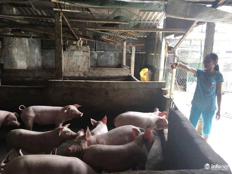 """Hà Tĩnh: Nông dân """"đau đầu"""" vì giá lợn tăng nhanh - 1"""