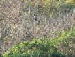 Phát hiện quần thể voọc quý hiếm trên núi Chứa Chan