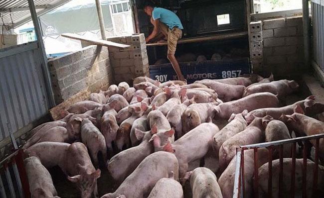 """Giá lợn ngừng tăng vọt, hộ chăn nuôi đừng """"mộng mơ"""" - 1"""