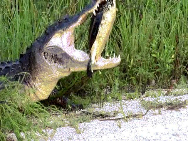 """Bị cá sấu khổng lồ nhai, rùa nằm im vẫn """"thắng"""""""