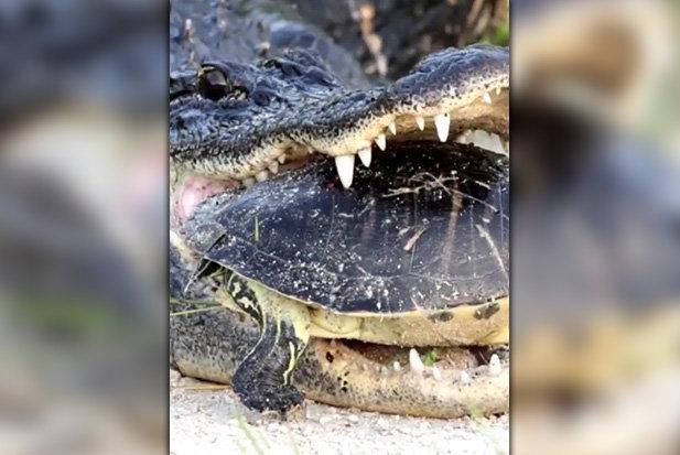 """Bị cá sấu khổng lồ nhai, rùa nằm im vẫn """"thắng"""" - 1"""