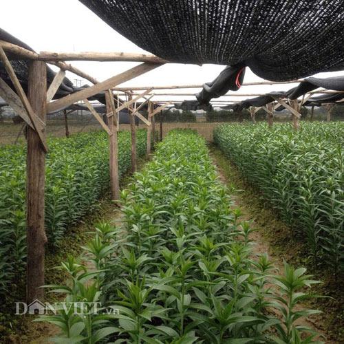 Trồng hoa huệ và hoa lily, lão nông U70 có thu nhập cực tốt - 1