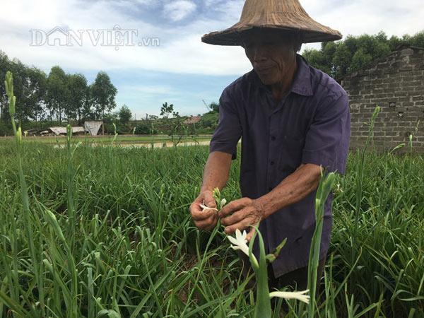 Trồng hoa huệ và hoa lily, lão nông U70 có thu nhập cực tốt - 2