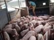 """Giá lợn ngừng tăng vọt, hộ chăn nuôi đừng """"mộng mơ"""""""