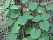 Phát hiện cây thuốc mọc hoang giúp hết đau đầu gối và phòng ngừa biến dạng khớp