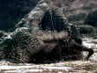 """Loài """"quái vật"""" khổng lồ từng giết hàng chục người ở Amazon"""