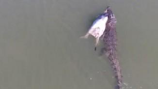 Úc: Cận cảnh cá sấu khổng lồ ngậm bò bơi trên sông