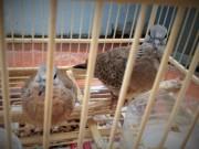 """Bị bắt vì """"xin đểu"""" 2 con chim cu đất"""