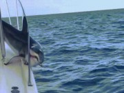"""Thế giới - Mỹ: Cá mập khổng lồ """"dở hơi"""" nhảy lên tàu rồi quằn quại"""