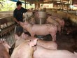 Vì sao giá lợn hơi tăng nóng rồi lao dốc?