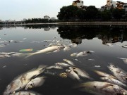 Tin tức trong ngày - Sau mưa lớn, cá chết lại nổi trắng mặt hồ ở Hà Nội