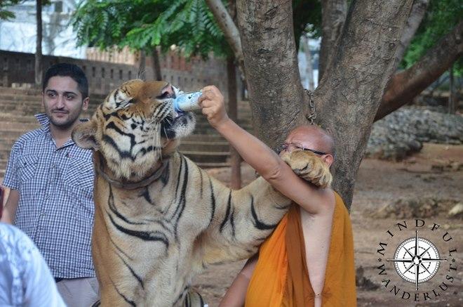"""Sốc với lí do hổ dữ """"hiền như cún"""" ở chùa Thái Lan - 2"""