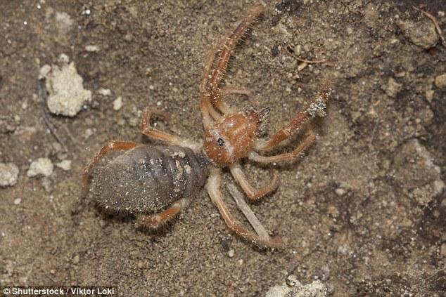 Tá hỏa phát hiện nhện khổng lồ lai bọ cạp - 3