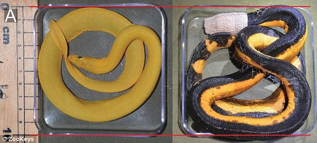 Phát hiện loài rắn vàng rực cực hiếm, chưa từng được biết đến - 2