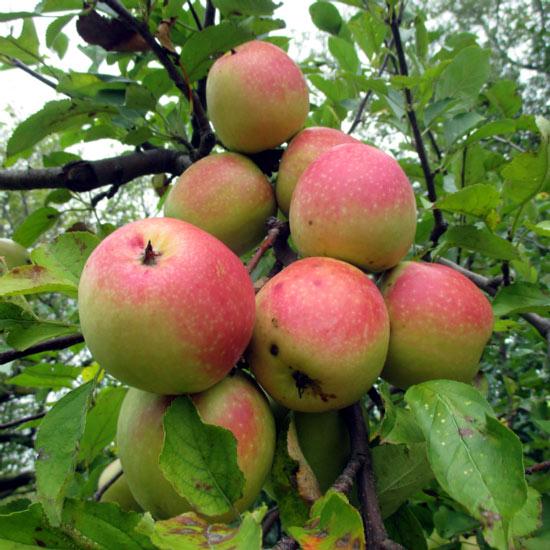"""Mê mẩn loại táo Mỹ lạ """"xanh vỏ - hồng lòng"""" siêu dễ thương - 12"""