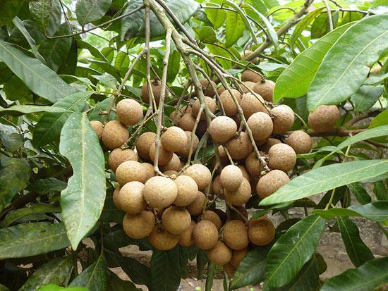 Trồng 5ha nhãn Hương Chi, thu 20 tấn quả, lãi nửa tỷ đồng/năm - 3