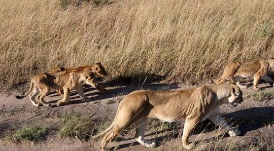 Kinh hoàng sư tử ăn thịt người trong công viên - 1
