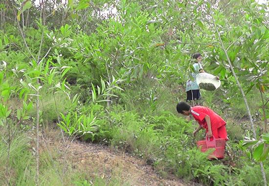 Đổ xô lên rừng hái sim, đút túi 700.000 đồng/ngày - 3