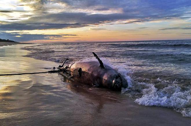 """Xác cá heo """"khủng"""" tự trôi vào biển Thừa Thiên - Huế - 1"""